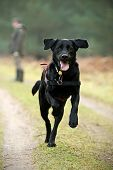 Big Black Labrador Running