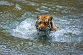 Siberian Tiger In Water, Look Straight Into The Camera.