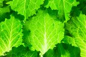 Healthy diet / Fresh Lettuce /  green leaves background