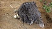 Australian Ostrich on the Nest