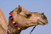 Camel, India