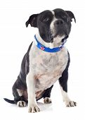 pic of staffordshire-terrier  - portrait of a staffordshire bull terrier with an english collar in front of white background - JPG