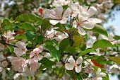 Постер, плакат: Blossom от Краб яблони в Весна