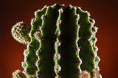 Cactus Whit Bud Close Up