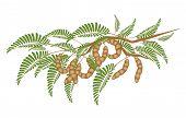 Fresh Brown Tamarind Pods On Tree Branch