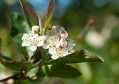 Flowering Chokeberry (aronia)