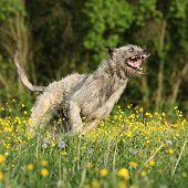 Irish Wolfhound Smiling And Running In Yellow Flowers
