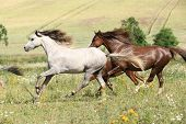 Grey And Brown Horses Running On Pasturage