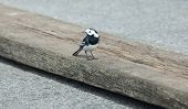 Pied Wagtail Vogel