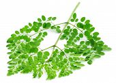 foto of malunggay  - Clsoe up of edible moringa leaves over white background - JPG