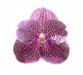 Beautiful Purple Orchid Isolated On Withe Background.