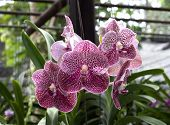 Beautiful Purple Orchid In The Garden Of Thailand.