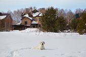 Winter Labrador Retriever Puppy Dog