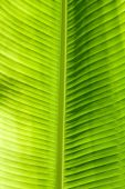 stock photo of chloroplast  - Green leaf texture showing all nerves - JPG