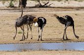 pic of ostrich plumage  - Group of ostriches at a waterhole in the dry desert looking for food - JPG