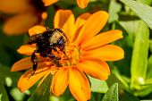 Closeup of a Bumble Bee Feeding on the Nectar of Orange Flowers