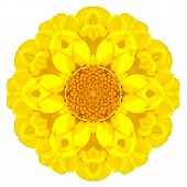 Yellow Concentric Dahlia Mandala Flower Isolated On White