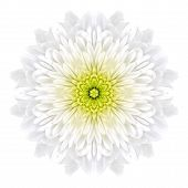 White Concentric Chrysanthemummandala Flower Isolated On Plain