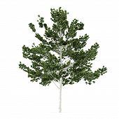 Tree isolated. Betula