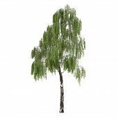 Tree  Betula birch