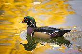 Wood Duck On Golden Pond
