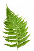 stock photo of fern  - One branch of fern isolated on white - JPG