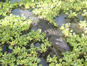 An American Alligator Swims
