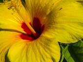 Yellow Flower in Maui