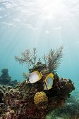 Butterfly Fish On Coral Reef