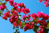Bougainvillea Flowers On Blue Sky Background