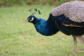 stock photo of indian peafowl  - A Vibrant Blue Indian Peafowl  - JPG