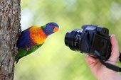Rainbow Lorikeet And Camera
