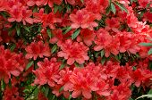 Azalea Blooming On Tree (rhododendron Simsii Planch)