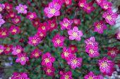 Pink Saxifrage Flowers