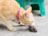 Orange Cat And Hunting Rat