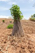 foto of cassava  - cassava or manioc plant field in Thailand - JPG