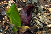 picture of skunk  - wild skunk cabbage was taken hiking through  a forest as this type of plant live is prevalent during spring - JPG