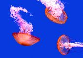 stock photo of jellyfish  - Three jellyfish under water isolated on blue