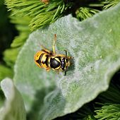 Hornet on green leaf