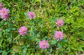 Blooming Red Clover Seen From Above