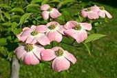 Pink Dogwood Blossom Cluster