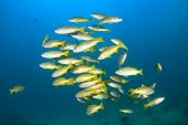 School yellow snapper fish on reef
