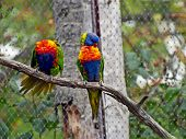 Picture Of Rainbow Lorikeet