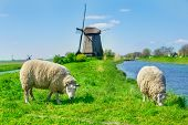 Sheep grazing near a dyke in the Netherlands