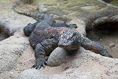 Big Komodo Dragon