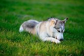 stock photo of husky  - Siberian Husky frolic with a wooden stick in his mouth in the green grass