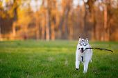 stock photo of husky  - Husky dog runs with a wooden stick in his mouth in sunny summer evening park