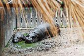 Pygmy Hippopotamus (choeropsis Liberiensis) And A Baby