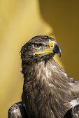 beautiful golden eagle, detail of head with large eyes, pointed beak