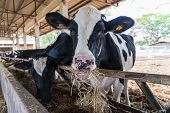 foto of feedlot  - Cows feeding hay in the farm in Thailand - JPG